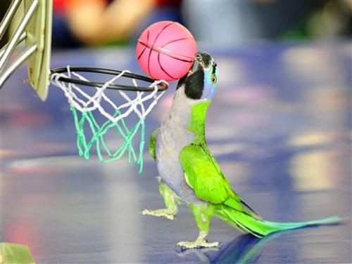 do.php?imgf=13059853461 آموزش بازی بسکتبال به طوطی و کاسکو