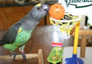 do.php?imgf=13059853463 آموزش بازی بسکتبال به طوطی و کاسکو