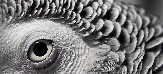 do.php?imgf=13350372221 بیماری چشم کاسکو و طوطی سانان